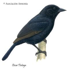 Bolivian Blackbird (Oreopsar bolivianus)
