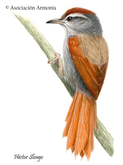 Bolivian Spinetail (Cranioleuca henricae)