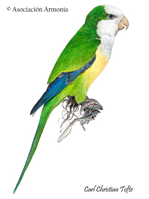 Cliff Parakeet (Myiopsitta luchsi)