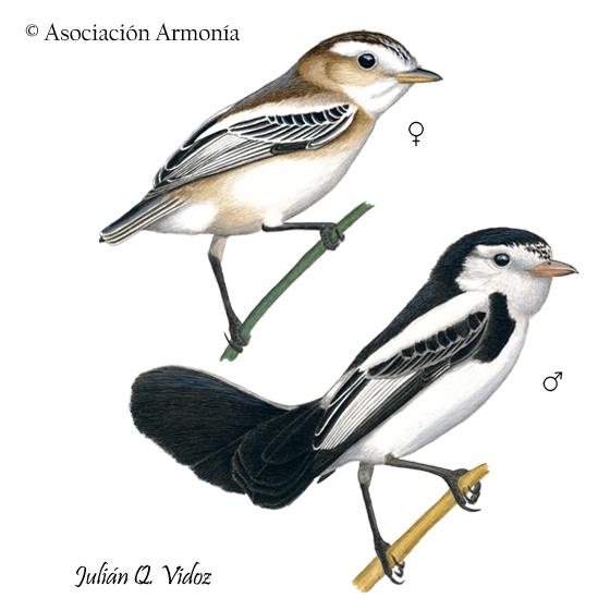 Cock-tailed Tyrant (Alectrurus tricolor)