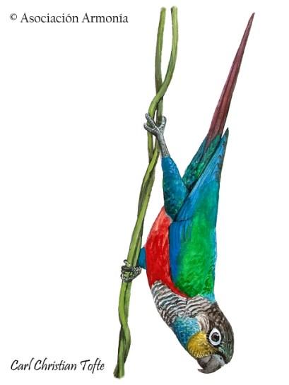 Crimson-bellied Parakeet (Pyrrhura perlata)