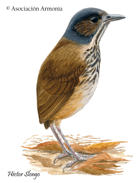 Masked Antpitta (Hylopezus auricularis)