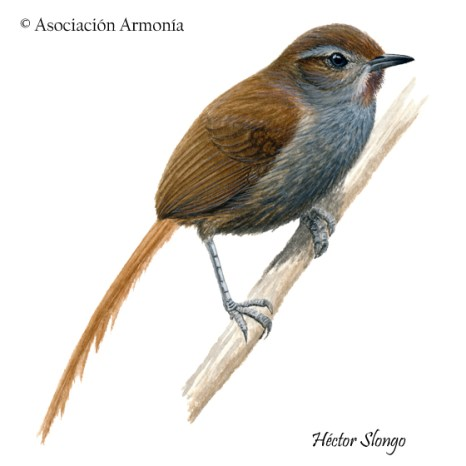 Puna Thistletail (Asthenes helleri)