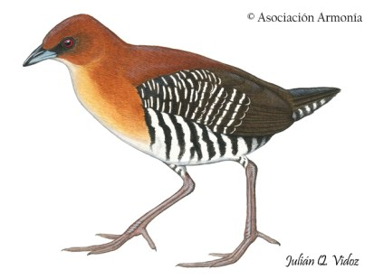 Rufous-faced Crake (Laterallus xenopterus)