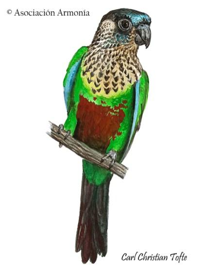 Santarem Parakeet (Pyrrhura amazonum)