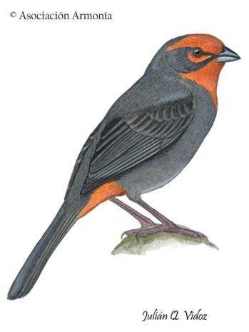 Tucuman Mountain-Finch (Poospiza baeri)