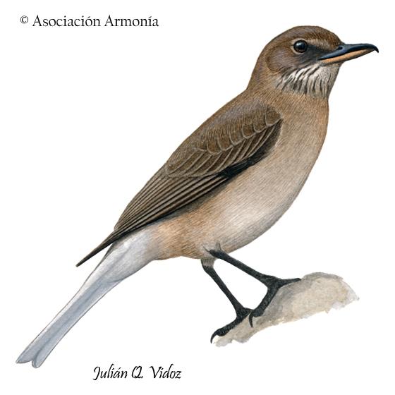 White-tailed Shrike-Tyrant (Agriornis albicauda)