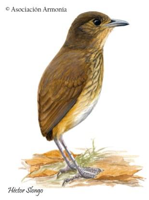 Amazonian Antpitta (Hylopezus berlepschi)