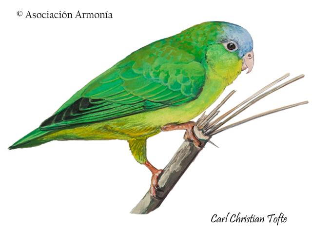 Amazonian Parrotlet (Nannopsittaca dachilleae)