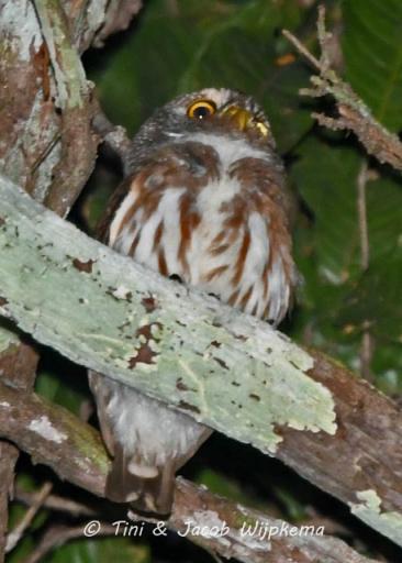 Amazonian Pygmy-Owl (Glaucidium hardyi). Copyright T&J Wijpkema.
