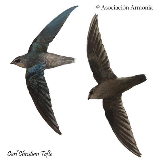 Amazonian Swift (Chaetura viridipennis)