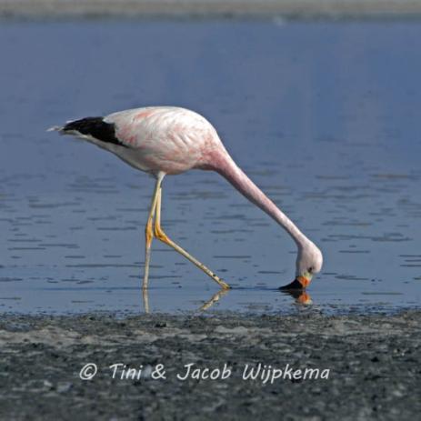 Andean Flamingo (Phoenicoparrus andinus). Copyright T&J Wijpkema.