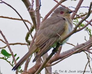 Ash-colored Cuckoo (Coccycua cinerea). Copyright T&J Wijpkema.