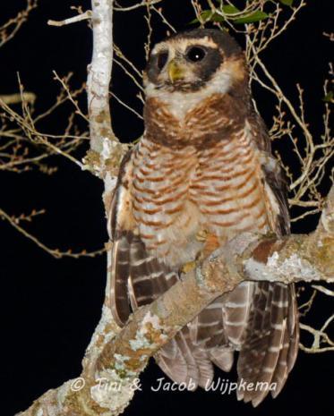 Band-bellied Owl (Pulsatrix melanota). Copyright T&J Wijpkema.