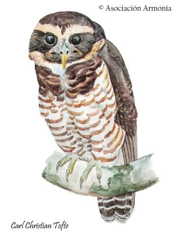 Band-bellied Owl (Pulsatrix melanota)