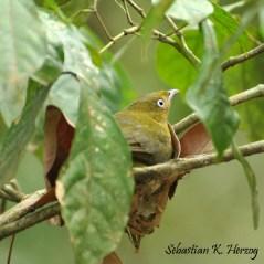 Band-tailed Manakin(Pipra fasciicauda). Copyright SK Herzog.