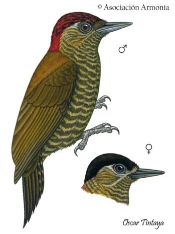 Bar-bellied Woodpecker (Veniliornis nigriceps)