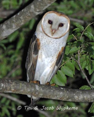 Barn Owl (Tyto alba). Copyright T&J Wijpkema.