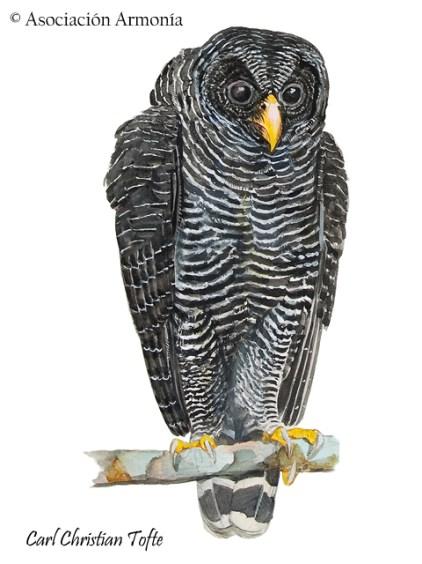 Black-banded Owl (Ciccaba huhula)