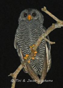 Black-banded Owl (Ciccaba huhula). Copyright T&J Wijpkema.