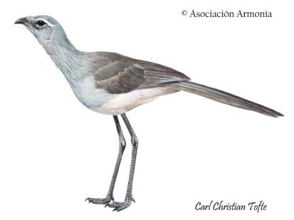 Black-legged Seriema (Chunga burmeisteri)