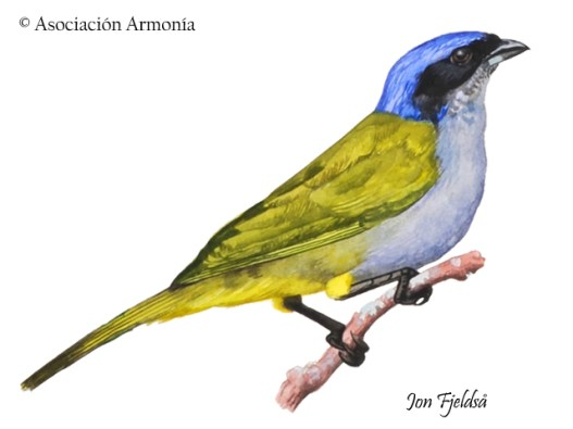Blue-capped Tanager (Thraupis cyanocephala).