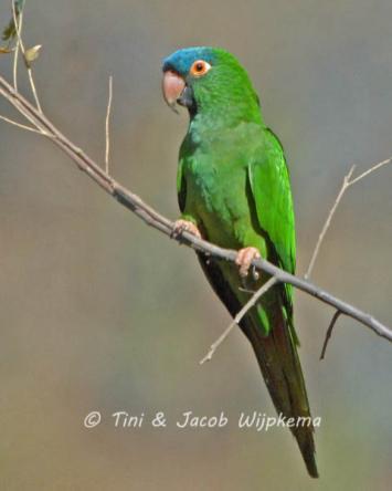 Blue-crowned Parakeet (Thectocercus acuticaudatus). Copyright T&J Wijpkema.