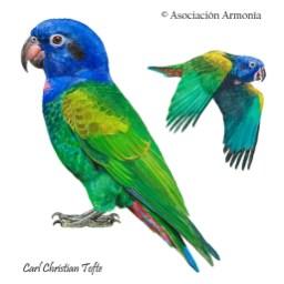 Blue-headed Parrot (Pionus menstruus)