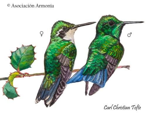 Blue-tailed Emerald (Chlorostilbon mellisugus).