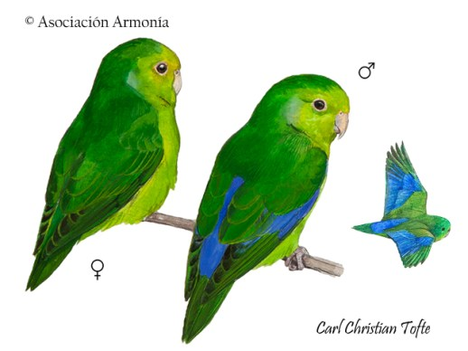 Blue-winged Parrotlet (Forpus xanthopterygius)