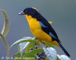 Blue-winged Mountain Tanager (Anisognathus somptuosus). Copyright T&J Wijpkema.