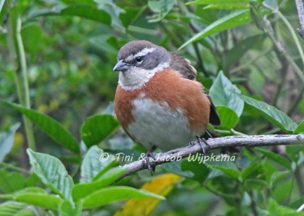 Bolivian Warbling-Finch