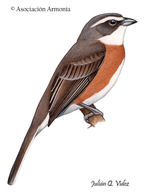 Bolivian Warbling-Finch (Poospiza boliviana)