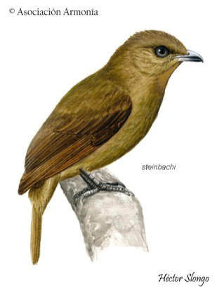 Brown-winged Schiffornis (Schiffornis turdina)
