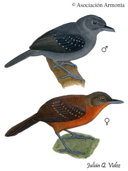 Brownish-headed Antbird (Myrmelastes brunneiceps)