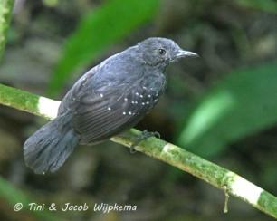 Brownish-headed Antbird (Myrmelastes brunneiceps) Copyright T&J Wijpkema.