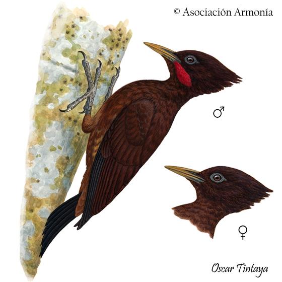 Chestnut Woodpecker (Celeus elegans)