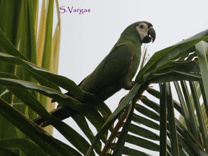 Chestnut-fronted Macaw (Ara severus). Copyright S Vargas.