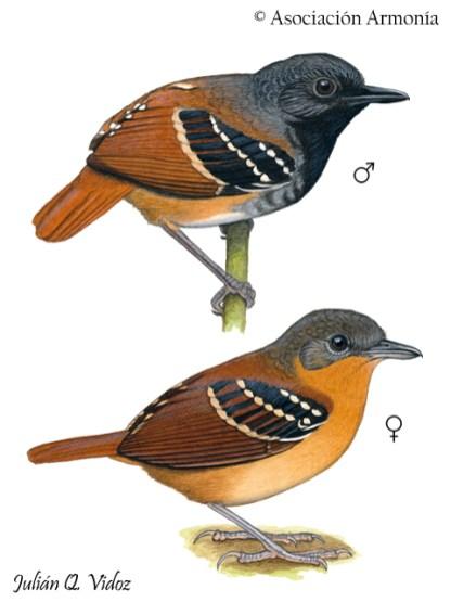 Chestnut-tailed Antbird (Sciaphylax hemimelaena)