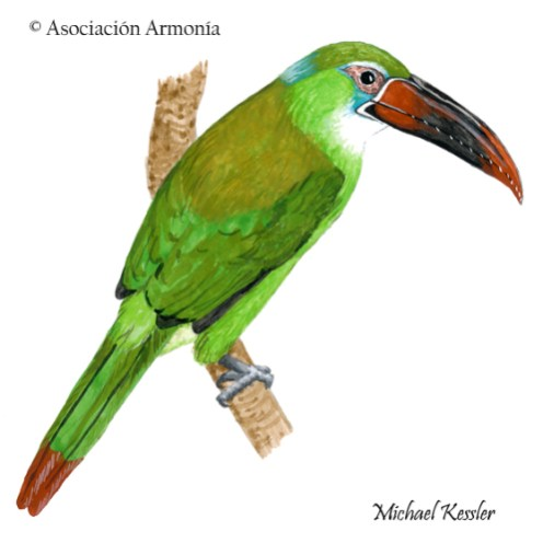 Chestnut-tipped Toucanet (Aulacorhynchus derbianus)