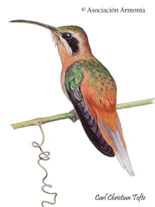 Cinnamon-throated Hermit (Phaethornis nattereri)