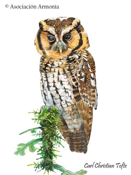 Cloud-forest Screech-Owl (Megascops marshalli)