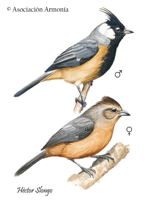 Coal-crested Finch (Charitospiza eucosma)