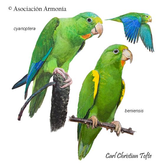 Cobalt-winged Parakeet (Brotogeris cyanoptera)