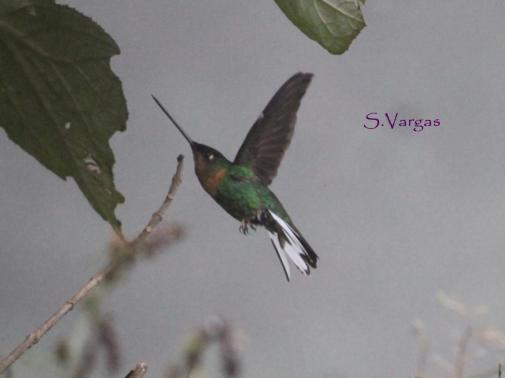 Collared Inca (Coeligena torquata) Copyright S Vargas