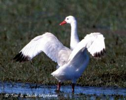 Coscoroba Swan (Coscoroba coscoroba) Copyright T&J Wijpkema.