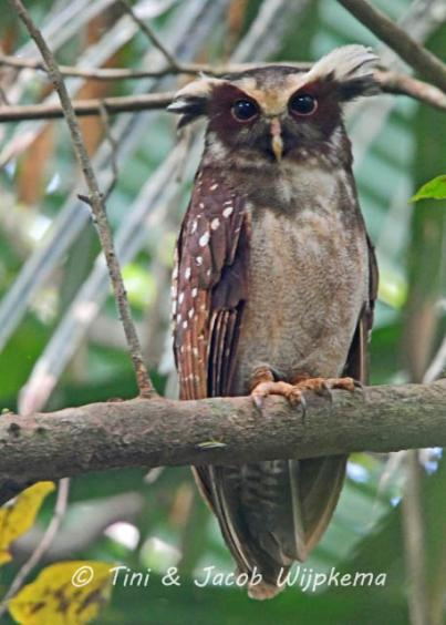 Crested Owl (Lophostrix cristata). Copyright T&J Wijpkema.