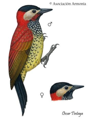 Crimson-mantled Woodpecker (Colaptes rivolii).