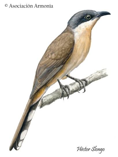 Dark-billed Cuckoo (Coccyzus melacoryphus)