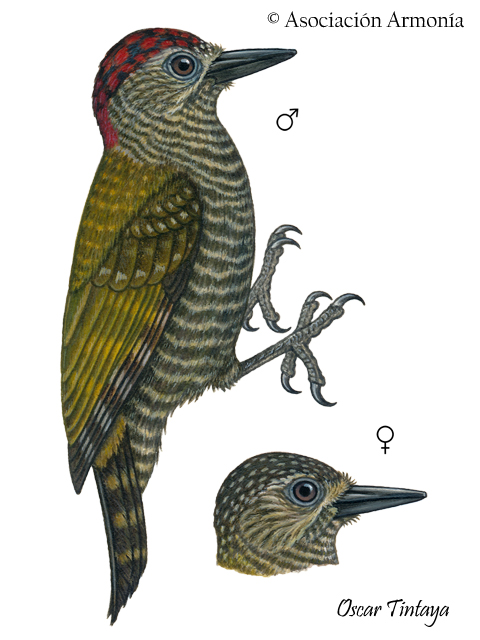 Dot-fronted Woodpecker (Veniliornis frontalis)